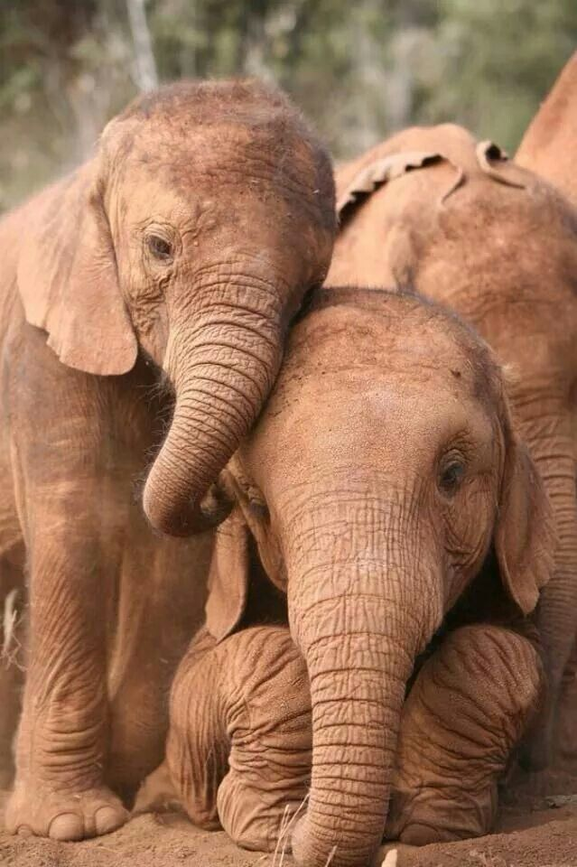 Baby orphan elephants become best friends at wildlife trust