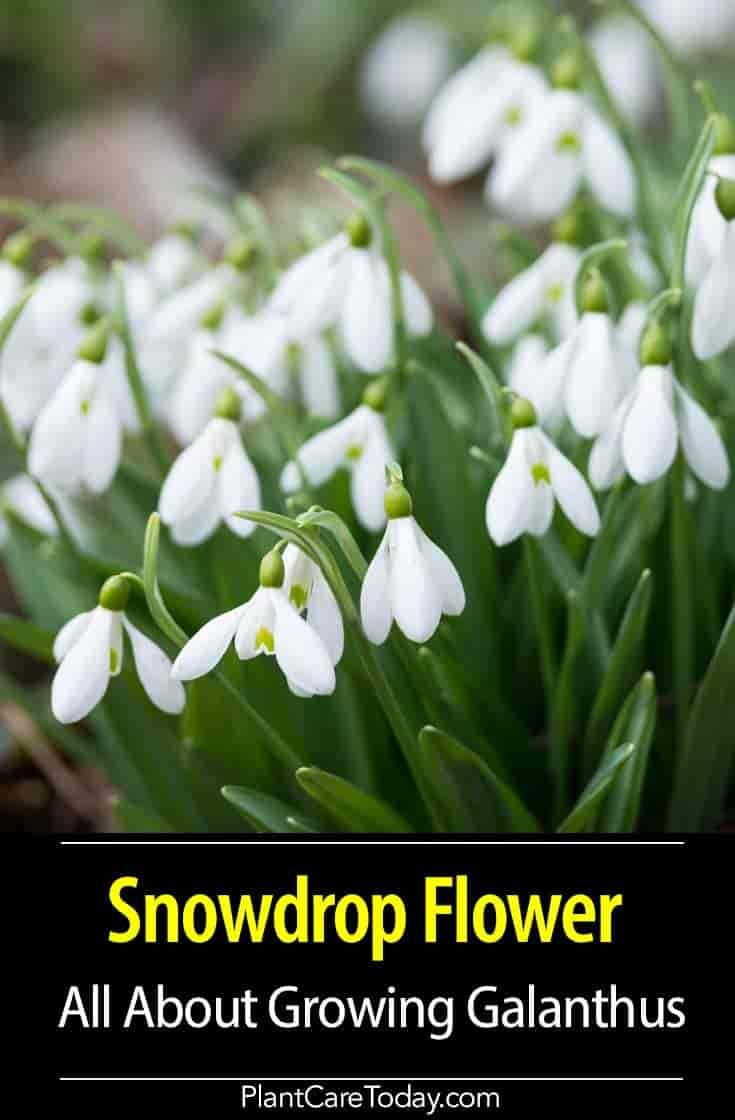 Snowdrop Flower Galanthus Plant Herbaceous Perennial White Bulbous Flowers Small And Short Lived Slightly Fragrant Flower Care Plants Snow Drops Flowers
