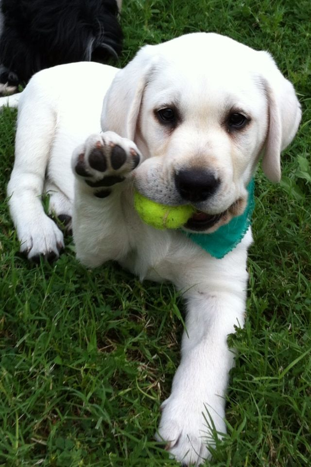 We are getting a white lab in a year when Dave is back from overseas..teaching him to retrive game :)