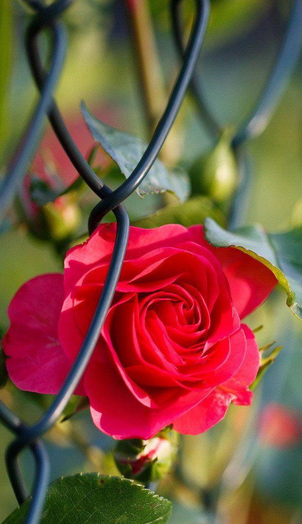 beautiful rose flower wallpapers for desktop www
