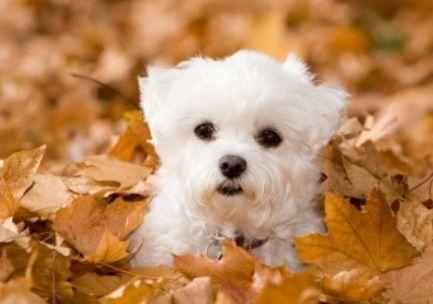 Maltese puppy                                                                                                                                                                                 More