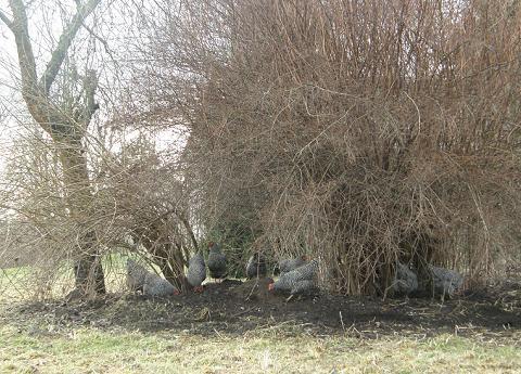 Slepice se rády shromažďují pod stromy a keři v zarostlejších a méně udržovaných částech zahrady, kde je půdní život velmi aktivní.