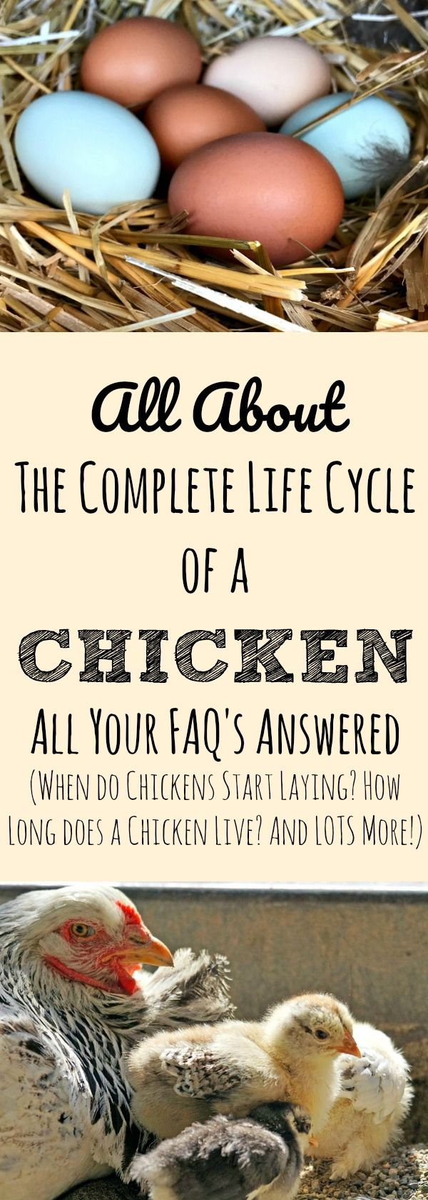All the extra questions you will have as you get started in your chicken keeping journey about the life cycle of a hen. Questions like: How long does a hen live? How soon will my chicken lay eggs? When will my chick get feathers? Why isn't my hen laying as much? How long does a chick need heat? Harvesting is addressed too. Answer all your questions about a hen's life cycle, start to finish.