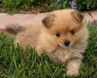Porkie: Yorkie and Pomeranian!!