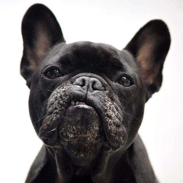 Elvis french bulldog