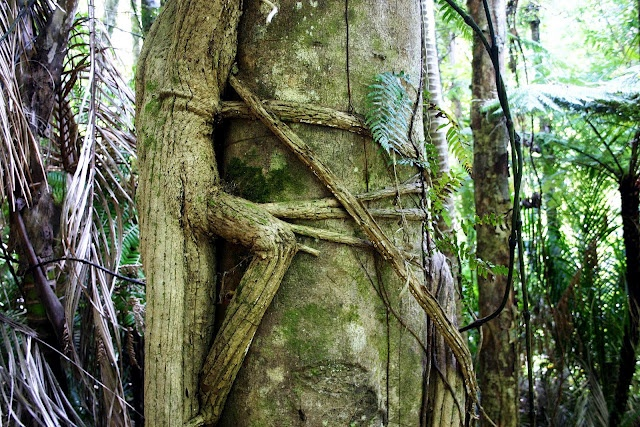 Reptile clings to tree.   Griselinia lucida. puka.  Horizontal girdling roots cling to the trunk of the host tree Beilschmiedia tawa. Puka begins life as an epiphyte in the canopy of the forest. In time it sends roots down into the ground.