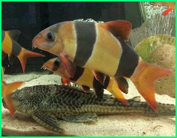Ikan Botia India Kalimantan Badut Sumatera Albino Tidur Wikipedia Pdf Tankmate Harga Agresif Dan Arwana Asal Apakah Galak Fungsi Di Aquasca Betta Binatang Ikan