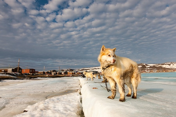 Working dogs in Ulukhaktok, NWT