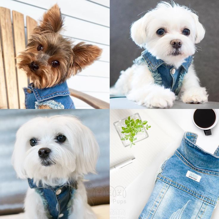Cutie pies and jean jackets are a perfect match✨! Jean jacket info  www.unitedpups.com/jacket Model: Kloe @therealkloek , A-Rod @raisblack , Bailey @beebeebailey #jeans #denimvest #denim #jeanjacket #fashion #style #maltese #frenchie #shihtzu #poodle #pomeranian #chihuahua #beagle #yorkie #pug #dachshund #jackrussell #corgi #puppy #dog #pet #puppylove #stylishdog #unitedpups #cool #thursday #tbt#weeklyfluff