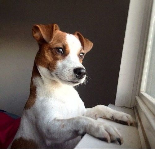 Jack Russells looking out the window