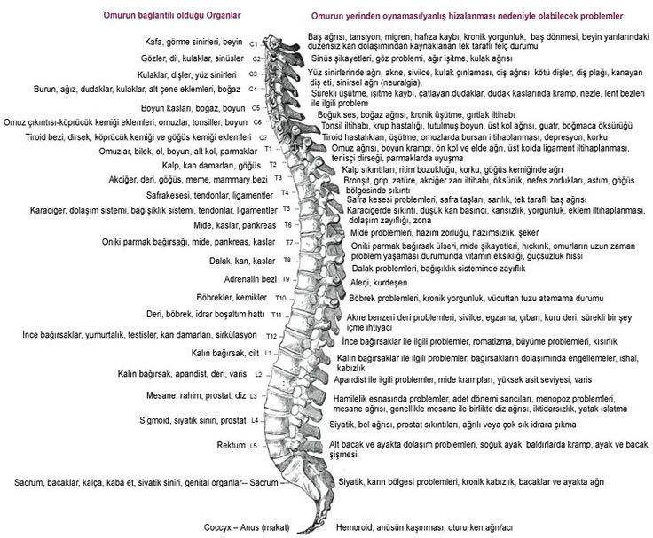 bel omurları ve etkilediği organlar