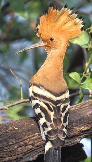 De hop is een vogel die ik van kinds af aan wilde zien, maar nooit zag (behalve in mijn vogelboekje), totdat ik 'm in Antalya in het gras bij het archeologisch museum zag scharrelen. Wat een mooi moment! Daarna ook in Dubai, weer in het gras, bij de zelfgemaakte eilanden. Je moet er wel wat voor doen kennelijk