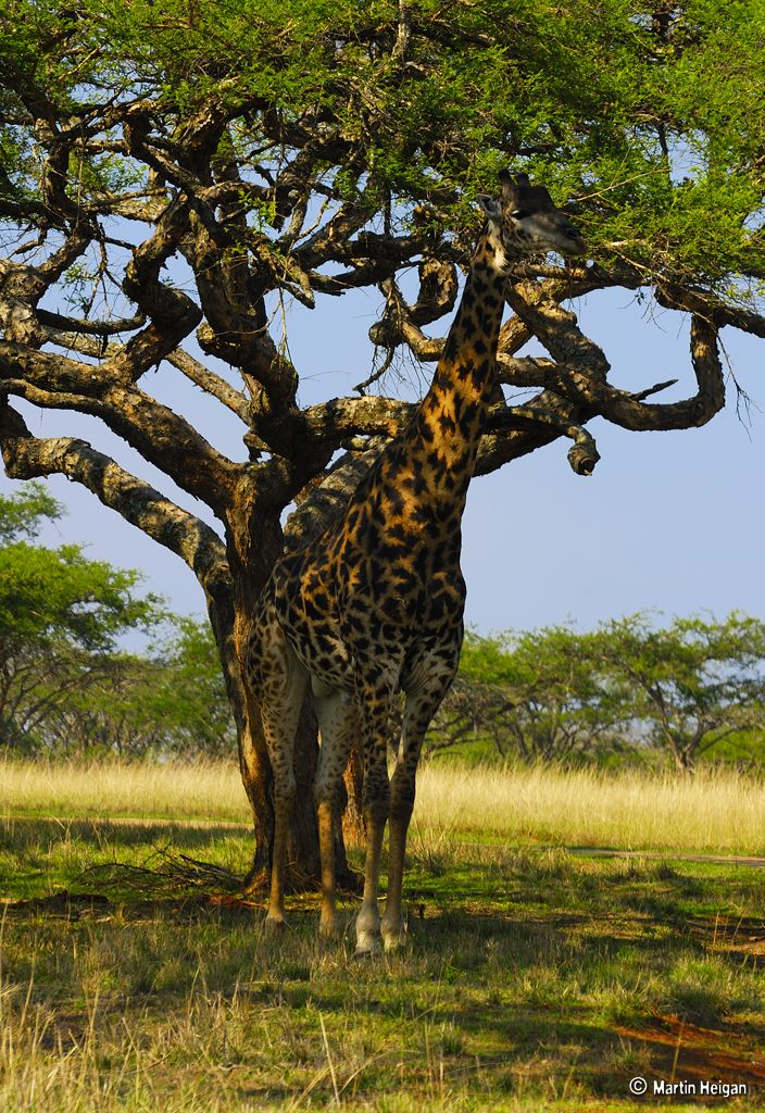 Camouflage 101.    Giraffe (Giraffa camelopardalis)    Question: How do you hide a 6 meter (19 feet) high Giraffe...?    Answer: Surprisingly well..!    Camouflage in action: At about 20-30 meters away, it just looked like a beautiful Acacia Thorn Tree with an impressive trunk. via flickr.com/photos/martin_heigan/