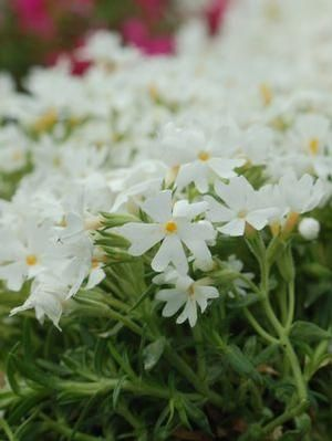 Best 25 Creeping Phlox Ideas On Pinterest Phlox Flowers Natural Bed Covers And Phlox Flower