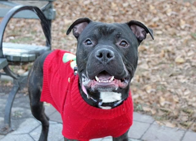NICHOLAS - A1100510 - - Manhattan  TO BE DESTROYED 01/10/17 A volunteer writes: Color me premature but I think we've found our winner for 2017's Best Smile of the Year. And the award goes to…Nicholas! On a recent, winter afternoon the wind whipped ferociously about our heads and I know my teeth were chattering plenty. But Nicholas? He looked as snug as a bug in a rug (or a cherry red sweater) and just try and wipe the eternal grin off of this boy's f