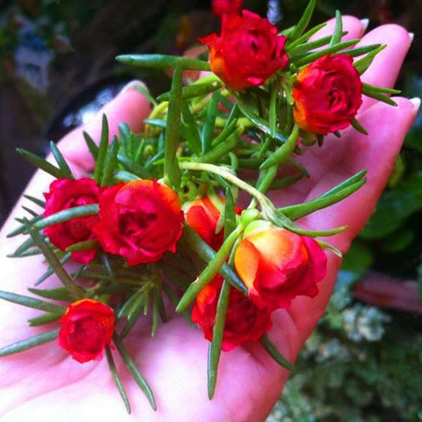 Mixed Color Moss-Rose Purslane Double Flower Seeds For Planting (Portulaca Grandiflora) Heat Tolerant easy growing 2