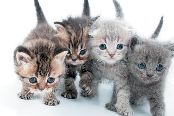 Kittens Are Born With Blue Eyes Which Change Depending On Melanin In The Iris So When Do Kittens Eyes Change Color Let S Learn More About Cats Cats