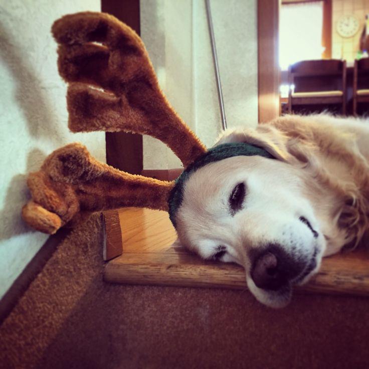 My Xmas reindeer #Aaron #mydog #goldenretriver