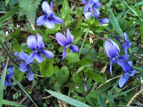 """Viooltjes - Viola odorata (Onze groenten en onze wilde vruchten bij de keuken aangepast - A. Bracke 1941)  """"De jonge verzachtende, buikzuiverende bladeren mogen met andere groenten worden gemengd, net als de bladeren van het madeliefje."""""""