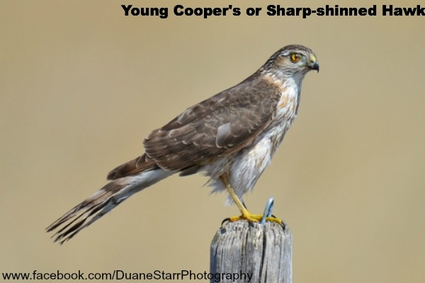 Young Coopers or Sharp-shinned Hawk