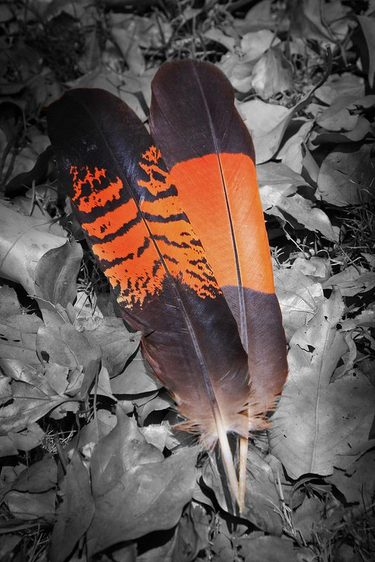 Red tailed black cockatoo feathers