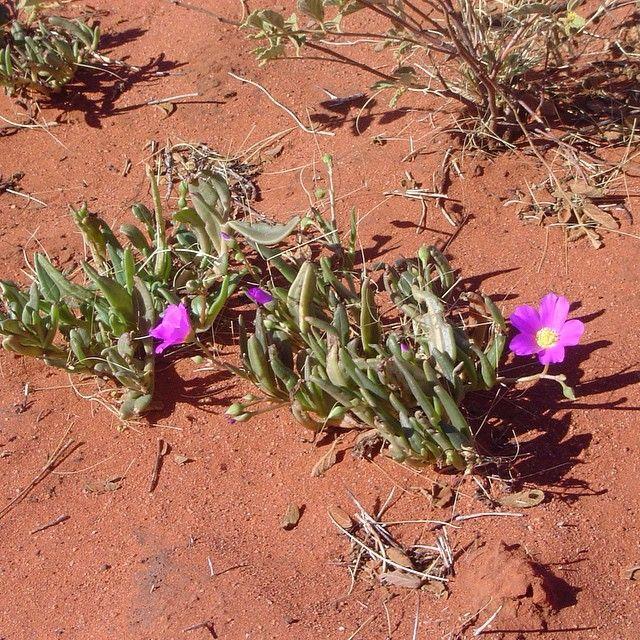 Beautiful desert flowers in the Australian outback (photo via @geoffiroth) #naturelovers #nofilter