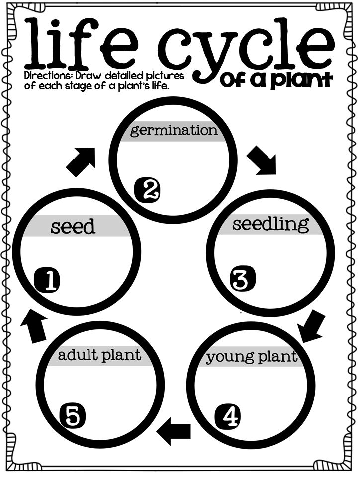 life cycle of plants graphic organizer...great!