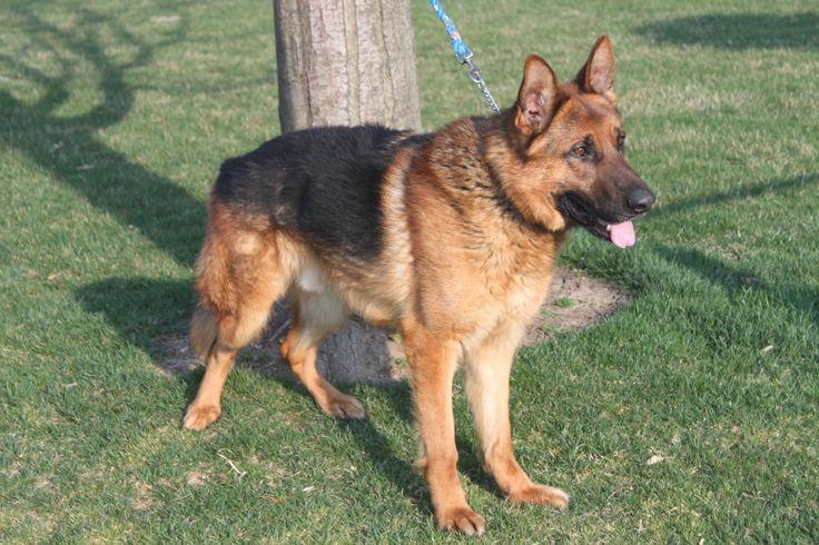 German Shepherd females For Sale In Honeybrook Pennsylvania http://www.network34.com/dogsbreed/german-shepherd-puppies-for-sale-pa-md-ny-nj-dc/