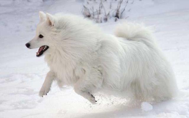 Un cane molto allegro ed energico è l'American Eskimo Dog #americaneskimodog #canidaguardia