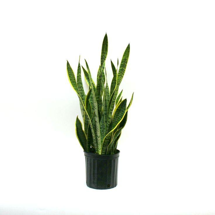 Delray Plants Sansevieria Laurentii in 8-3/4 in. Pot-10SANSL - The Home Depot
