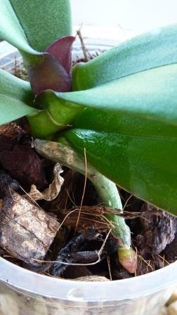 emerging new leaf