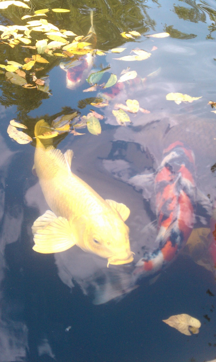 Honey one of my favorite koi of my mom 39 s he is a for Butterfly koi fish aquarium