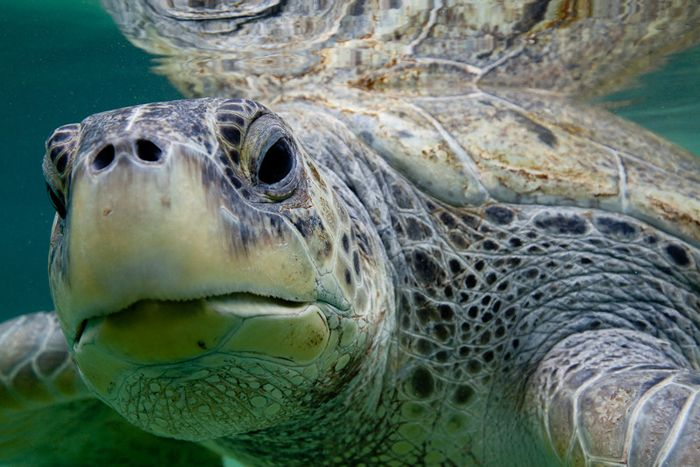 Loggerhead Turtles Swim to Safety (Images)