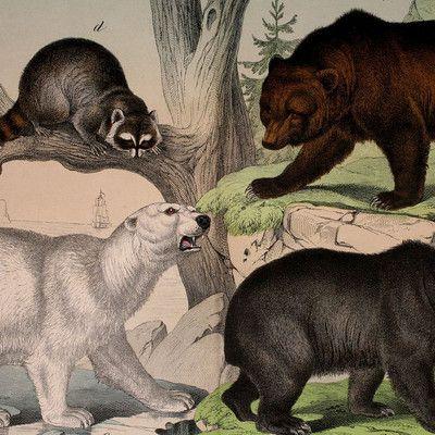 """Какое животное носит латинское название """"ursus arctos""""? Бурый медведь! Хотя слово """"ARCTOS"""" и ассоциируется с Арктикой, все равно с этим нет ничего общего. Название бурого медведя Карл Линней создал необычным образом, сочетая с собой латинское слово (ursus) и греческое слово (аrctos) обозначающие медведя."""