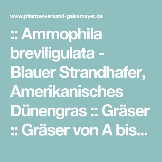 :: Ammophila breviligulata - Blauer Strandhafer, Amerikanisches Dünengras :: Gräser :: Gräser von A bis Z - Pflanzenversand Gaissmayer