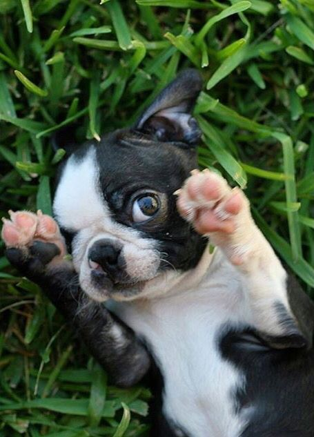 Peek-a-boo #bostonterrier