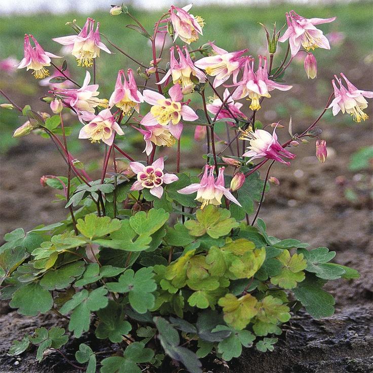 36 best Columbine images on Pinterest Plants Columbine flower