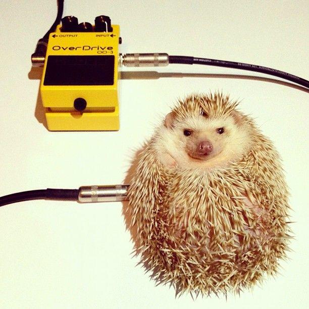 Darcy The Flying Hedgehog Hedgies Pinterest Hedgehogs - Darcy cutest hedgehog ever