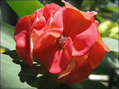 Anturium flowers