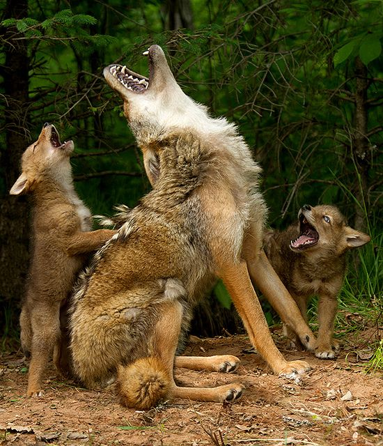 Howling lesson, wolves