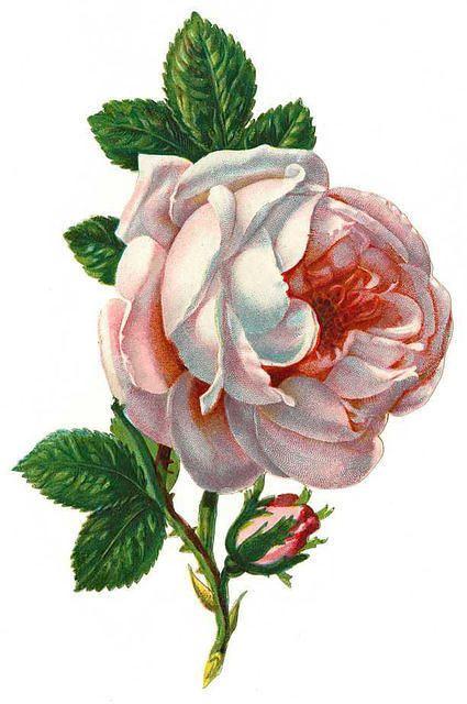 pink rose vintage clip art pinterest pink roses pink roses clipart background pink rose clip art boho