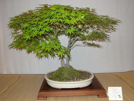 61 best images on pinterest bonsai bonsai trees and gardening. Black Bedroom Furniture Sets. Home Design Ideas