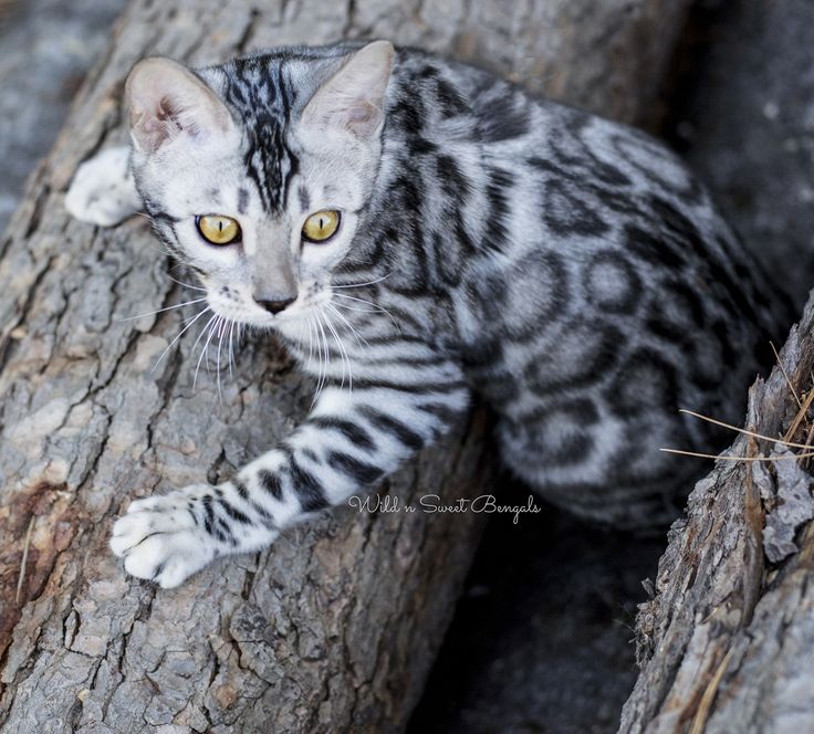 ERSTAUNLICHE SILBERNE BENGAL-KATZE! Wenn alles gut geht, sollte sie ihr erstes Bengal Ki haben …   – Katzen