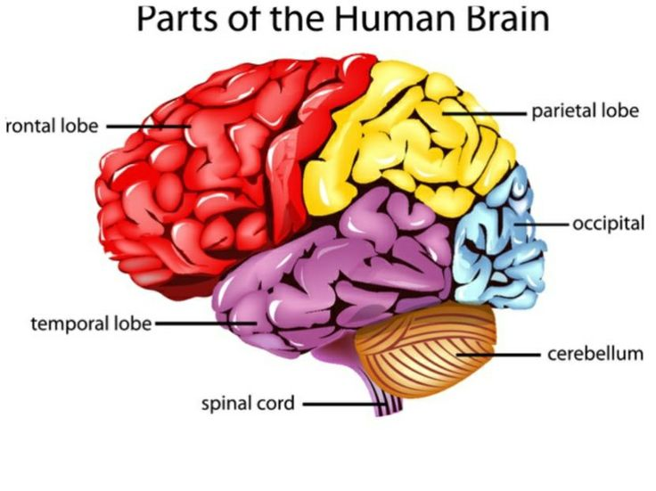 Human Diagram Of Nervous System X further F B Dd E Aa A Aec B Ed The Human Brain The Brain in addition Brain Cranial Nerves Px together with Freevector Colorful Brain Vector besides Maxresdefault. on human brain parts diagram