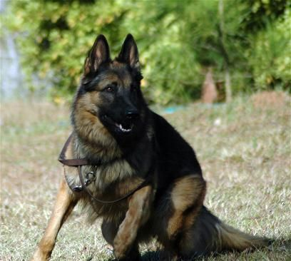 Black Sable German Shepherd | Adults for Sale - Black German Shepherd Breeders, Black & Sable GSD ...