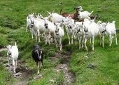 İSVİÇRELİ SAANEN KEÇİSİ Keçi sütü yetiştiriciliğinde önemli alternatif  Adını İsviçre'deki Saane ...