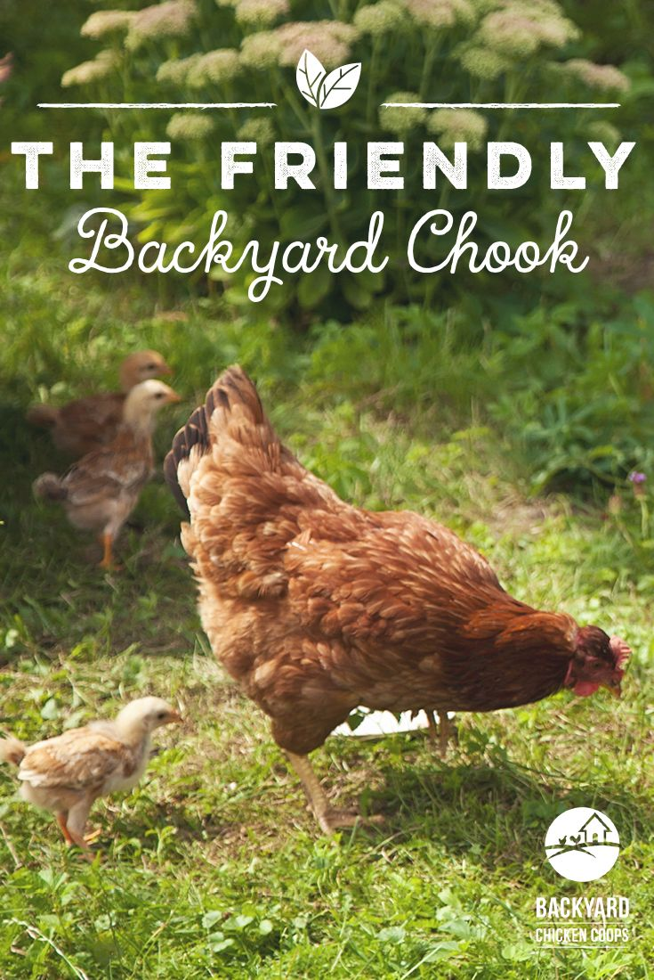 17 best images about new hampshire chickens on pinterest. Black Bedroom Furniture Sets. Home Design Ideas