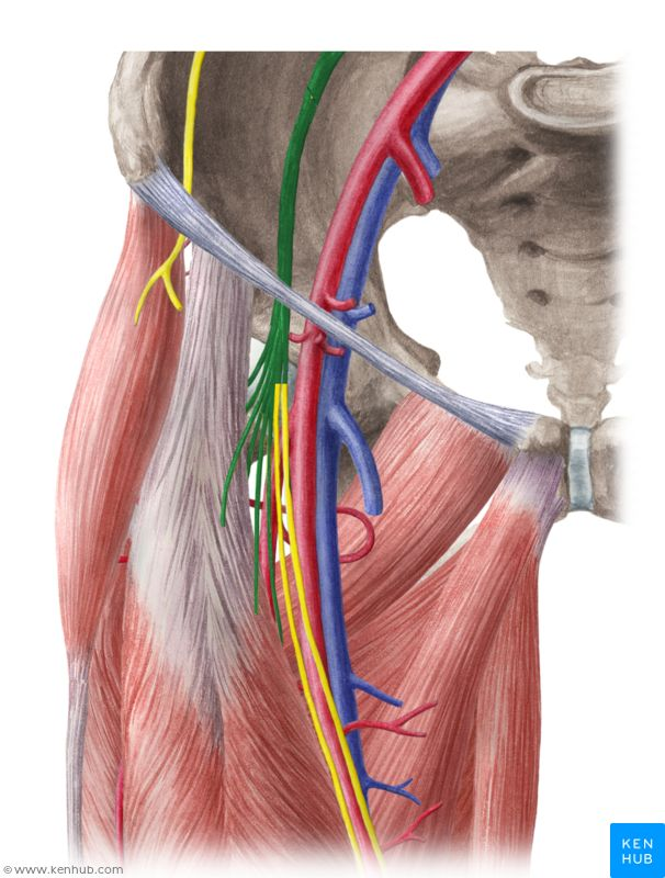 best 10+ femoral nerve ideas on pinterest | muscles of the thigh, Muscles