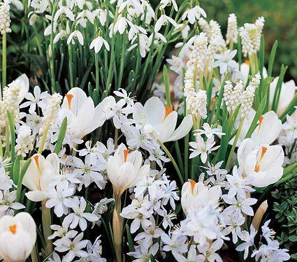 /\ /\ . Crocus 'Jeanne d' Arc', Galanthus nivalis (Snowdrops), Muscari botryoides 'Album' (Grape Hyacinths), and Scilla mischtschenkoana (White Squill)