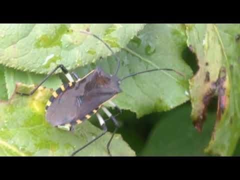 Nature Video, 自然 映像, しぜん どうが, приро́да изображе́ние, 자연 영상: [KakaoTV 벅스라이프]The stink bug is actively moving from the Winged SpindleTree. 노랑배허리노린재, Plinachtus bicoloripes, 鈍肩普緣椿, キバラヘリカメムシ, stink bug, 椿象,  カメムシ, pentatomes, chinches hediondas, Вонь ошибок, 화살나무, winged euonymus,  Winged SpindleTree, ニシキギ,